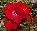 Rosarium Baden Rosa 'Austriana' Tantau 1996 02.jpg