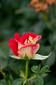 Rose, Kibou.jpg