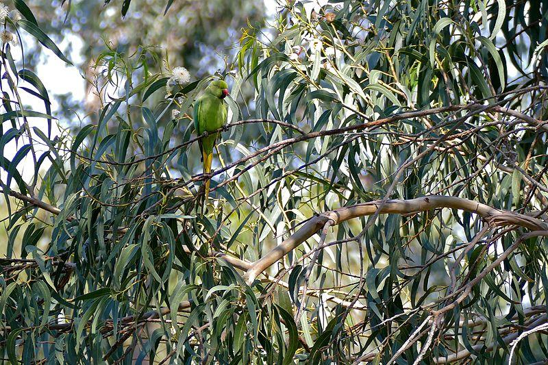 Fichier:Rose-ringed Parakeet (Psittacula krameri) in Bluegum Eucalyptus (Eucalyptus globulus) - Flickr - berniedup.jpg