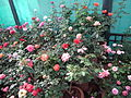 Rose from lalbagh year 2012 - 1647.JPG