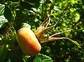 Rose hip 01 Orcas.JPG