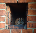 Rosenthal protestant church cemetery berlin, closeup of tawny owl.png