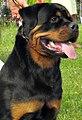 Rottweiler Moletai May 2014.2.jpg