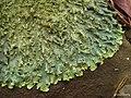 Rough Speckled Shield Lichen (4501582061).jpg