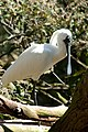 Royal Spoonbill (4995824342).jpg