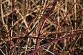 Rubus-caesius-bark.jpg