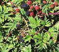 Rubus laciniatus.jpg