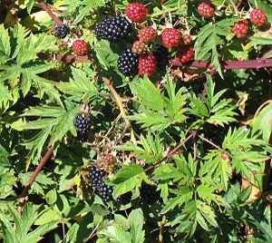 Rubus laciniatus - Image: Rubus laciniatus