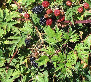 <i>Rubus laciniatus</i> species of plant