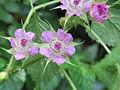 Rubus niveus - Mysore Rasp berry.jpg