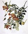 Ruby-throated Humming Bird (Trochilus Colubris).jpg