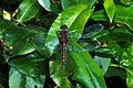 Ruby Whiteface Leucorrhinia rubicunda (Andromorphic Female) (8978986718).jpg