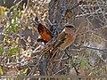 Rufous-backed Redstart (Phoenicurus erythronotus) (24707168171).jpg