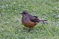 Rufous-bellied Thrush (4303091324).jpg