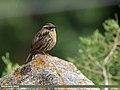 Rufous-breasted Accentor (Prunella strophiata) (43460857620).jpg