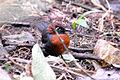 Rufous-breasted Antthrush (5201438136).jpg