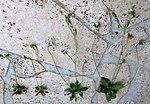 Ruhland, Grenzstr. 3+4, Frühlings-Hungerblümchen auf dem Gehweg, Einzelpflanzen, Frühling, 01.jpg
