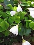 Ruhland, Grenzstr. 3, Waldsauerklee im Garten, blühende Pflanzen, Frühling, 01.jpg