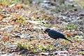Rusty blackbird (18714405713).jpg