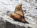 SEA LION, STELLER (Eumetopias jubatus) (6-21-2016) out of seward, alaska (2) (28758701350).jpg
