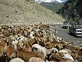 SHEEPS AT KAGHAN VALLEY PAKISTAN.jpg