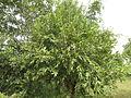 Sage-Leaved Alangium 12.JPG