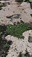 Sagina procumbens plant (08).jpg