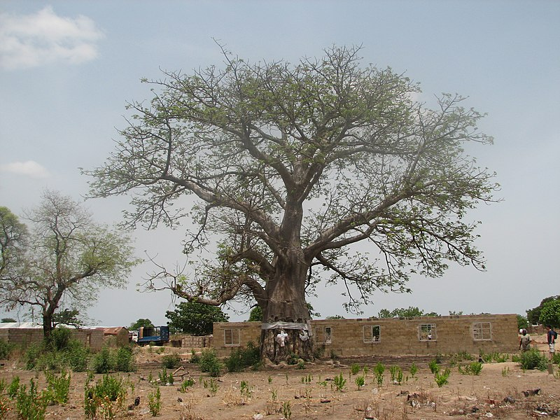 File:Salaga Slave Tree - panoramio.jpg