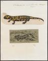 Salamandra maculosa - 1700-1880 - Print - Iconographia Zoologica - Special Collections University of Amsterdam - UBA01 IZ11400091.tif
