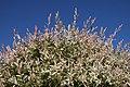 Salix integra Hakuro B.jpg