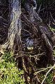 Salix lucida lasiandra(01).jpg