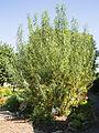 Salix viminalis Korb-Weide.jpg