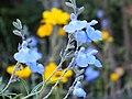 Salvia azurea Blue sage サルビア・アズレア 丹波並木道公園 DSCF0795.JPG