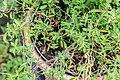 Salvia coahuilensis in Jardin des 5 sens.jpg