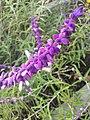 Salvia leucantha 2017-10-22.jpg
