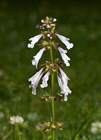 Salvia lyrata Kaldari