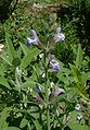 Salvia officinalis jfg1.jpg