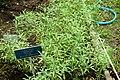 Salvia reflexa - Urban Greening Botanical Garden - Kiba Park - Koto, Tokyo, Japan - DSC05384.jpg