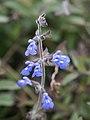 Salvia sinaloensis (Scott Zona) 001.jpg