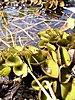 Salvinia auriculata2.jpg