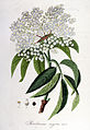 Sambucus nigra — Flora Batava — Volume v6.jpg