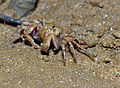 Sand Bubbler Crab (Scopimera sp.) feeding (15555605920).jpg