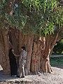 Sarv-e Abarqu, 4,000 year old Cypress tree, Abarqu, Iran.jpg