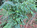 Sauropus Androgynus - മലയച്ചീര 01.JPG