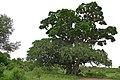 Sausage Tree (Kigelia africana) (16601395695).jpg