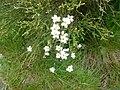 Saxifraga granulata - 20080604.jpg