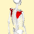 Scapula - lateral view2.png