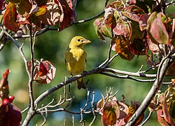 Scarlet tanager in GWC (25303).jpg