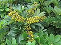 Schefflera arboricola Hong Kong.jpg