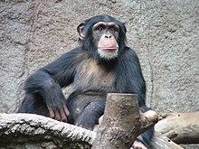 220px-Schimpanse_Zoo_Leipzig.jpg